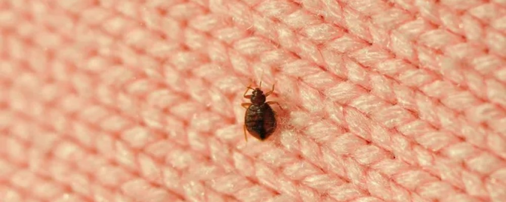 remove bed bugs