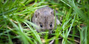 Types of Mice in VA
