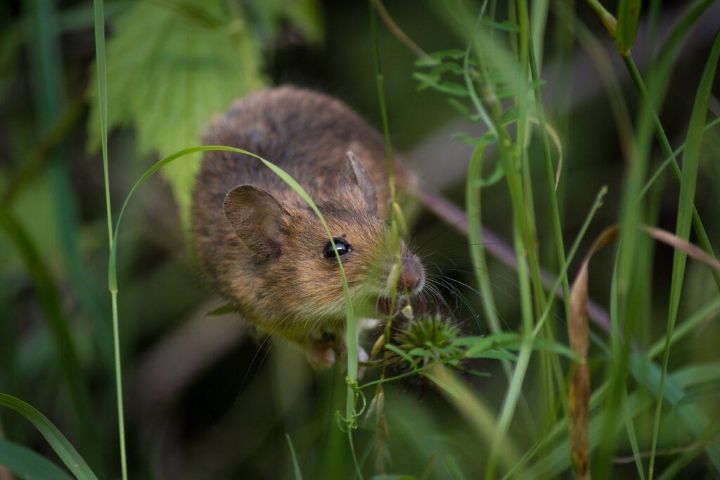 types of mice
