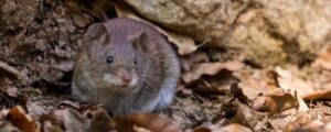 rodents of Virginia
