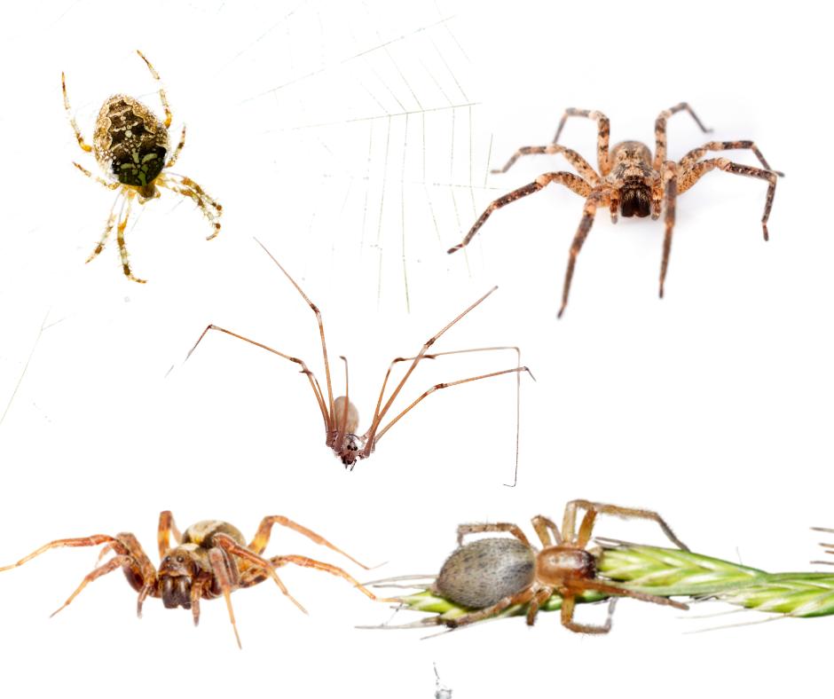 spiders of Virginia